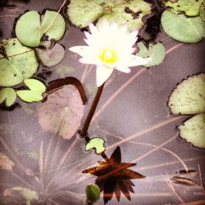 pic lotus